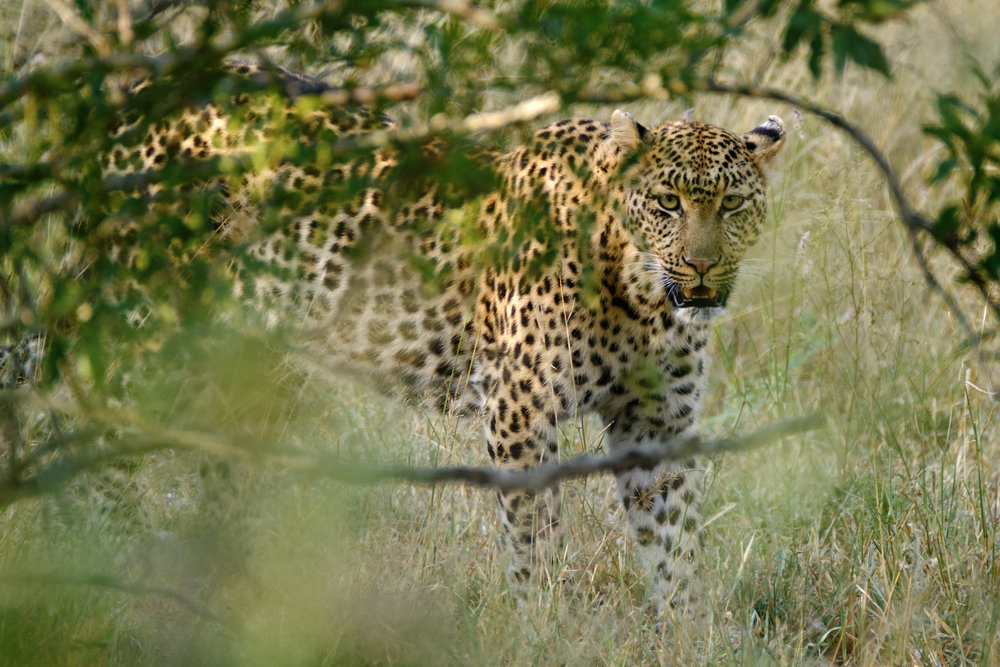 Leopard through the bushes - XF 100-400mm with 1.4x TC at 560mm, F8