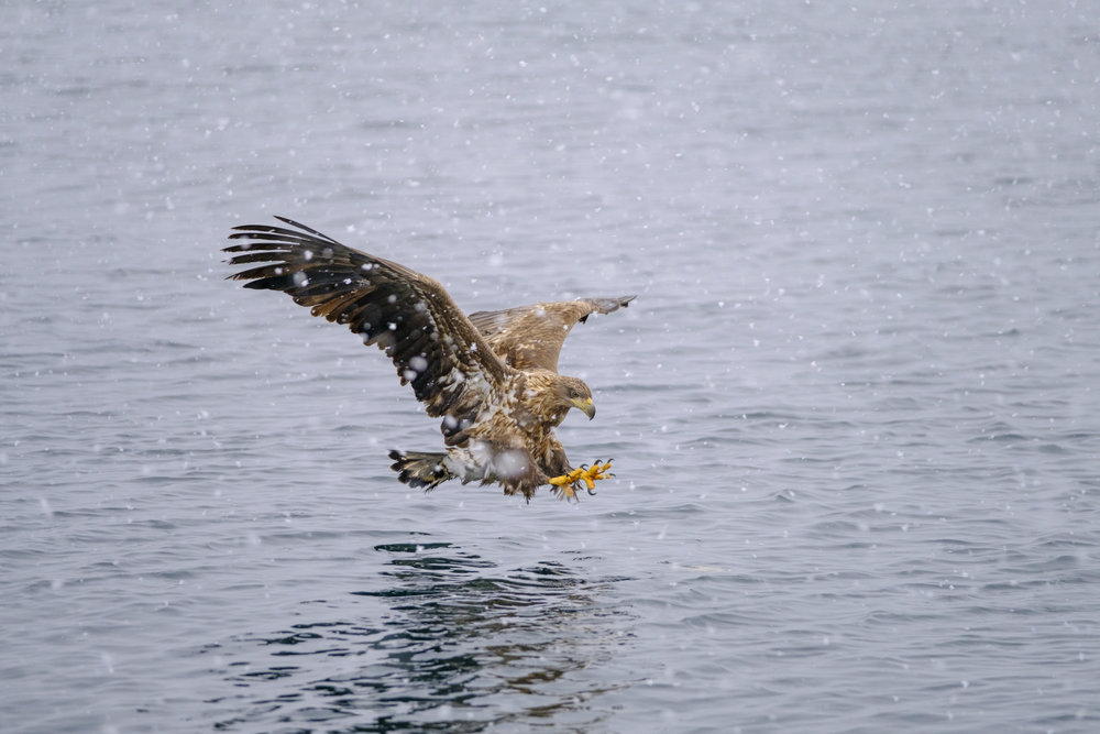 White Tailed Eagle coming in for a catch in heavy snowfall - XF 50-140mm