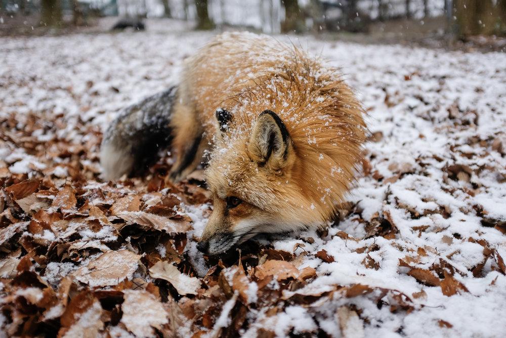 Vulpine under the Snow