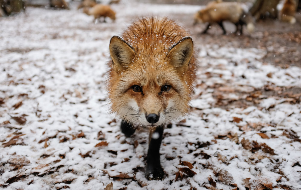 Curious Fox Approaches in the Snow